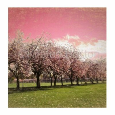 Giclée Print of Cherry Blossom 1 by Kirsten Boston